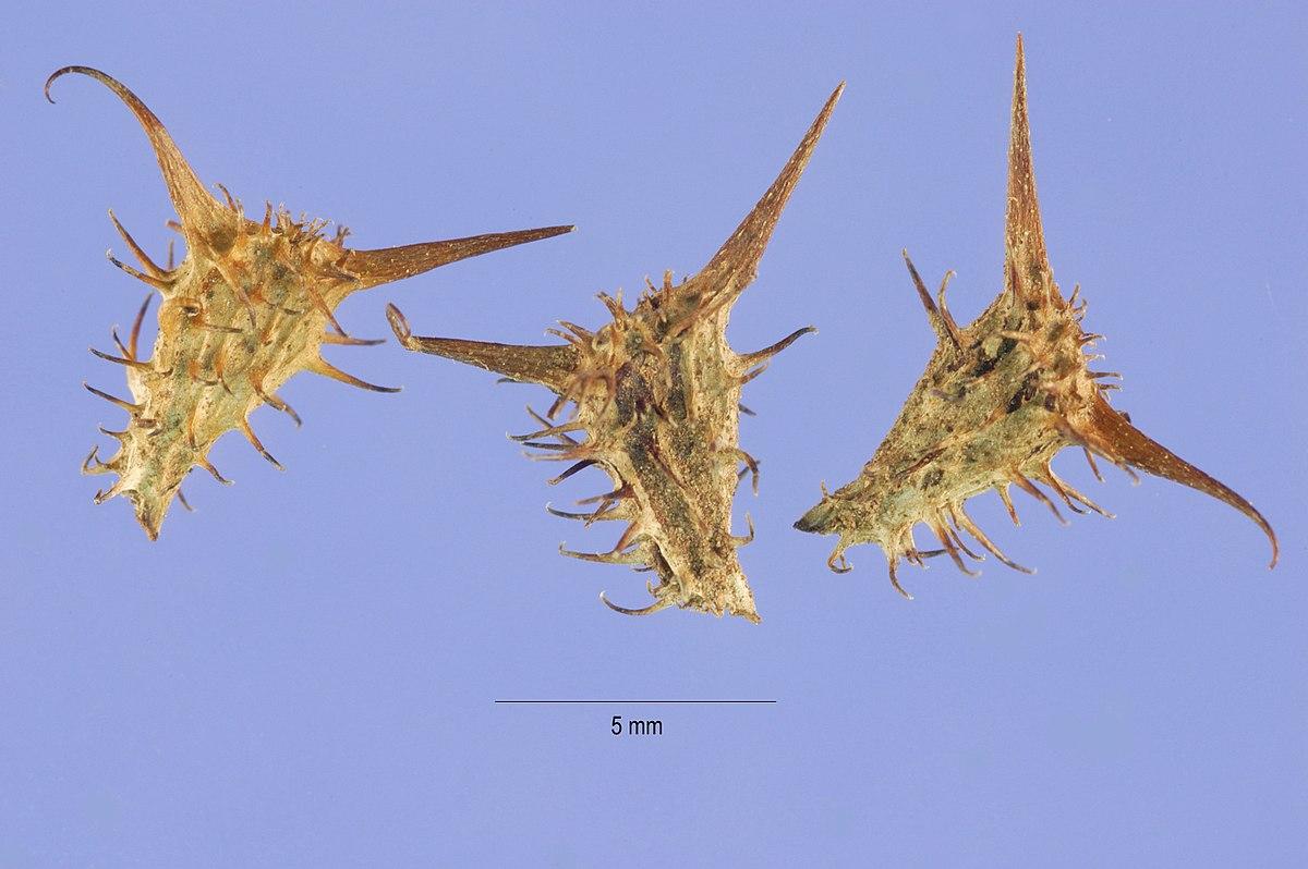 goathead thorns