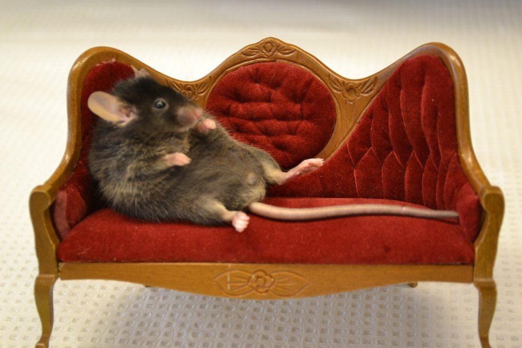 couch potato rat